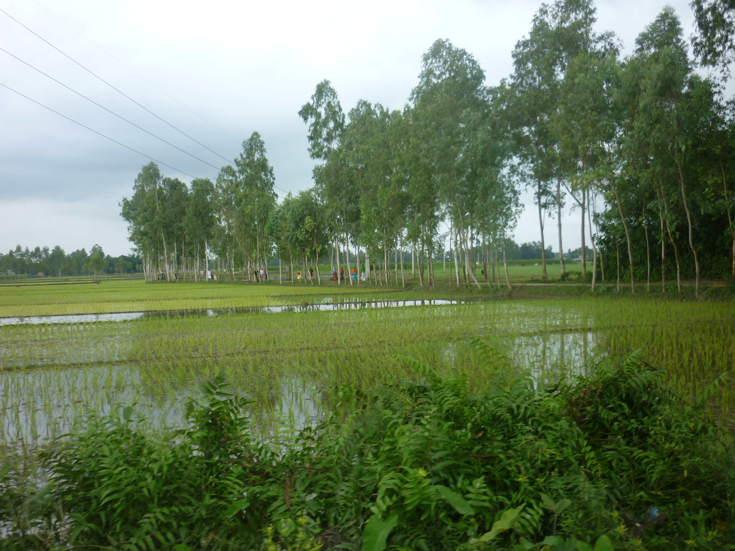 A water-soaked field in Bangladesh, with trees in the background and shrubs in fore-ground.